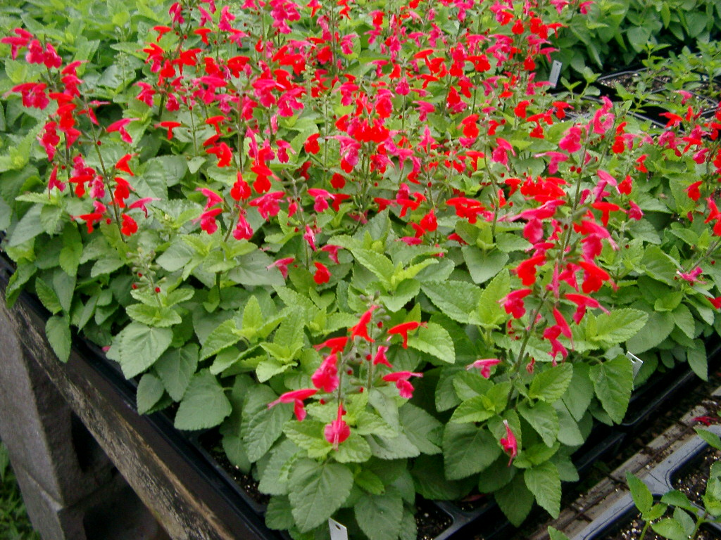 Salvia as well Some Helpful Small Garden Ideas For The Diy Project For Making The Adorable Small Garden also Xeriscaping 101 additionally Garden Design moreover Drought Tolerant Plants For Eco Friendly Landscaping. on water tolerant landscaping ideas
